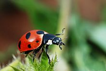 Ladybugs are a natural predator of aphids and scale insects